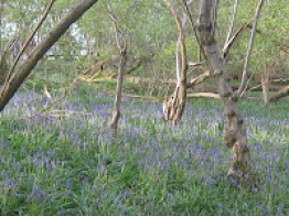 Planned trip to the Bluebell Wood - Tues 4th May